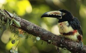 Картинка природа, птица, Collared Aracari