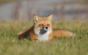 Картинка трава, лиса, лисица