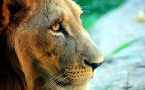 Обои взгляд, лев, морда
