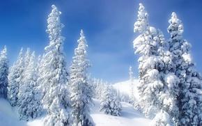 Обои снег, холод, елки, зима