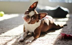 Картинка взгляд, собака, red boston terrier