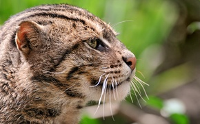 Картинка кошка, морда, обои, большая, wallpaper, киса, дикая, котэ, Камышовый кот