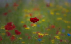 Картинка поле, трава, маки, луг