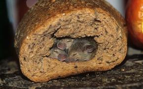 Картинка нора, хлеб, мыши