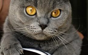 Обои британец, серый, на диване, домашний, глаза, кот