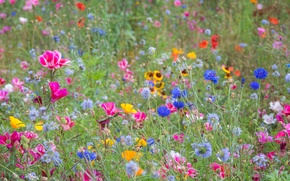 Обои луг, поле, трава, лето, цветы