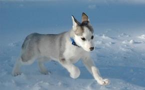 Обои белый, Снег, щенок