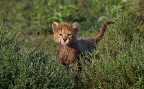 Картинка трава, малыш, колючки, гепард, детеныш, кусты, взляд, любопытсво
