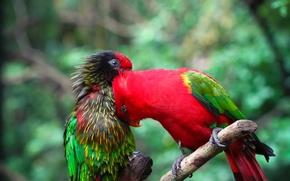 Картинка птица, краски, цвет, ветка, перья, попугай, пара