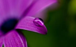 Обои макро, зеленый, природа, лепесток, цветок, фиолетовый, цвет, лиловый, капля, растение, роса