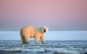Обои Аляска, Белая медведица, ледяная пустыня, Национальный Арктический заповедник, закат