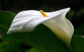 Обои нежность, пестик, изгибы, каллы, цветок
