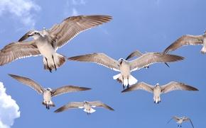 Картинка небо, полет, птицы, крылья, чайка