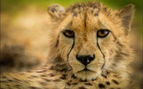 Обои взгляд, морда, отдых, размытость, гепард