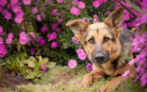 Картинка взгляд, морда, цветы, собака, овчарка, Немецкая овчарка