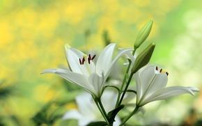 Обои макро, лилии, бутоны, боке, белая лилия