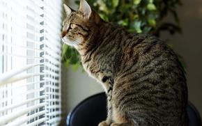 Картинка кот, дом, окно, полосатый, внимание, жалюзи