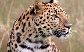 Обои трава, взгляд, леопард
