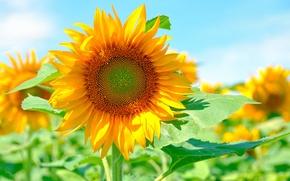 Картинка солнце, желтый, яркий, подсолнух, лепестки