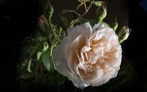 Картинка макро, роза, бутон, кремовая