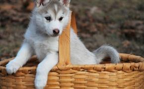 Картинка корзина, собака, щенок, хаски