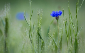 Обои роса, Василёк синий, поле, цветок, колоски