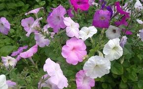Картинка лето, Цветы, петуния, скромная красота