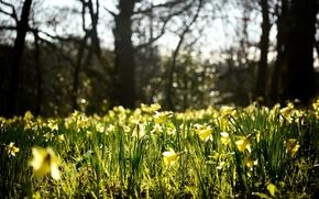 Картинка цветы, природа, поляна, весна, желтые, бутоны, нарциссы