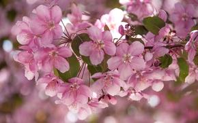 Картинка ветки, розовый, яблоня