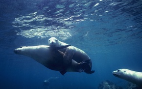 Картинка seal, underwater, sea, ocean, fish, wedding, heat, cruise, mammal, Animals, swim united, artic, pole