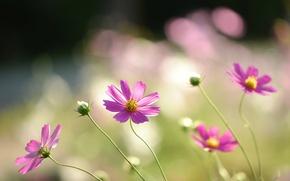 Картинка поле, макро, цветы, лепестки, размытость, розовые, Космея