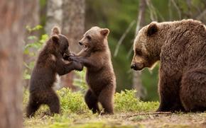Картинка зелень, лес, игра, медвежата, медведица