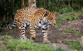 Картинка хищник, мощь, пятна, ягуар, прогулка, дикая кошка, зоопарк