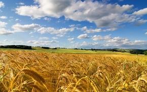 Картинка пшеница, поле, лето, небо