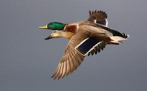 Картинка Birds, Eyes, Flying, Beak, Ducks