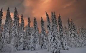 Картинка зима, лес, снег, елки, вечер