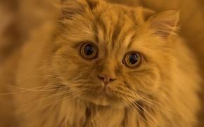 Картинка усы, взгляд, мордочка, рыжий кот, глазища, рыжий, кот