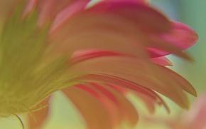 Обои гербера, лепестки, цветок