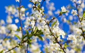 Картинка лето, цветы, вишня