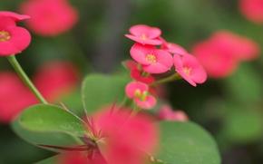 Обои зелень, листья, макро, цветы, размытость, розовые