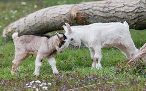 Картинка козы, козлята, Давай бодаться