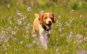 Картинка цветы, собака, луг, щенок, прогулка, легавая собака, Эпаньол бретон, Бретонский эпаньоль