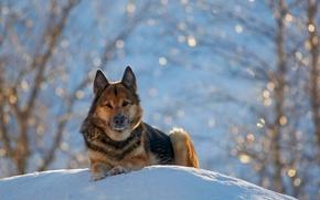 Картинка зима, снег, природа, немецкая овчарка, german shepherd