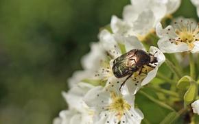 Картинка макро, цветы, жук, насекомое, обои от lolita777, бронзовка золотистая
