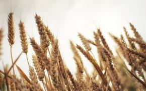 Картинка пшеница, макро, колоски