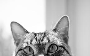 Обои глаза, кот, чёрно-белое, мордочка, уши, любопытство