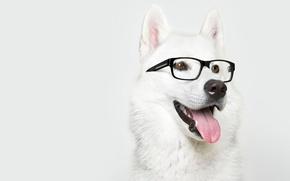 Картинка собака, очки, лайка