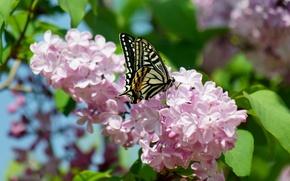 Картинка макро, цветы, бабочка, весна, сирень