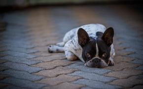 Картинка взгляд, друг, собака, French Bulldog