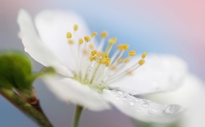 Картинка белый, цветок, макро, природа, весна